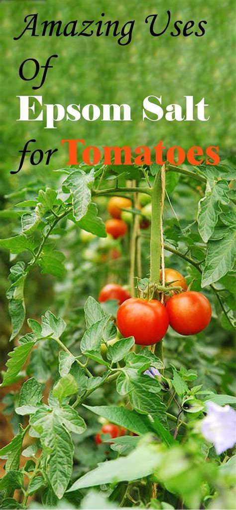 Epsom Salt In Garden by Best 25 Epsom Salt For Tomatoes Ideas On