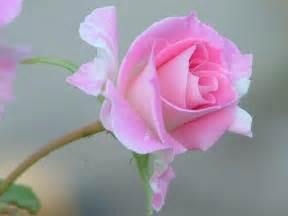 Rose flower background flowers pink rose