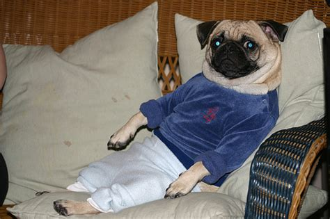 pug clothing for humans animals in clothes