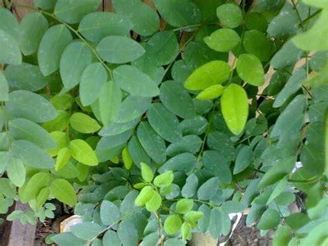 manfaat daun katuk berbagi