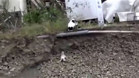 cat saves puppy from ditch cat saves puppy stuck in a ditch trending on