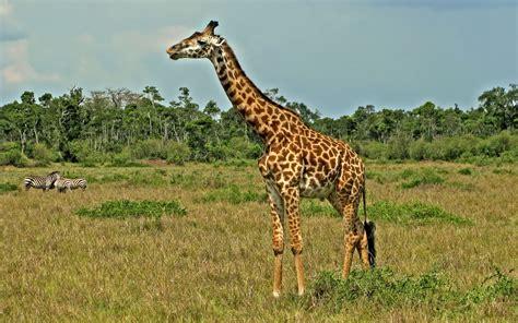 imagenes de jirafas y osos fondo de pantalla animales jirafas y cebras