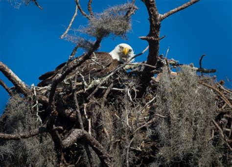 drive through bald eagle nest draws birders to i 75 and
