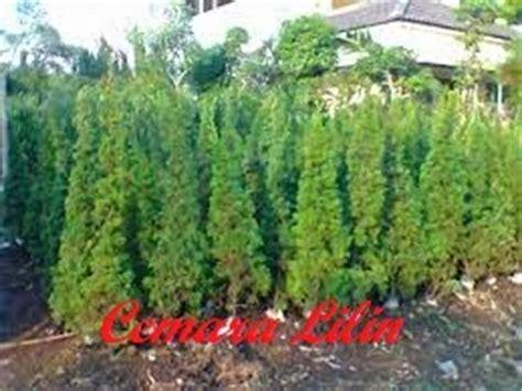 Tanaman Hias Cemara Embun cemara lilin pohon cemara lilin penjual pohon cemara