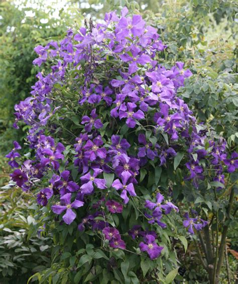 buy clematis group 3 clematis jackmanii delivery by crocus