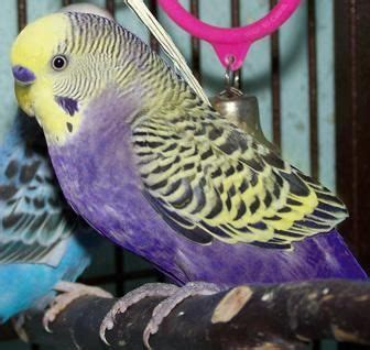 Violet Yellow Face Budgerigar Wanted   Stratford Upon Avon