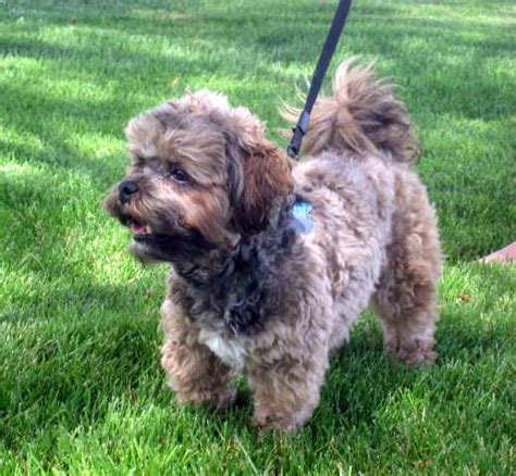 poodle puppies for sale mn shih tzu bichon mix puppies for sale in minnesota breeds picture
