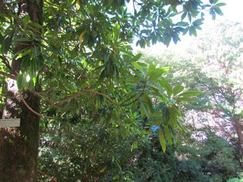magnolia grandiflora southern magnolia plant photos information