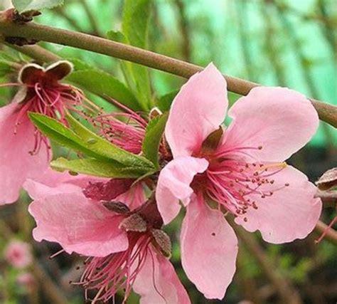 Bibit Tanaman Buah Persik bibit buah persik prunus persica bibitbunga