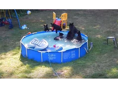 Bears Backyard Pool And Cubs Go Swimming In Backyard Pool