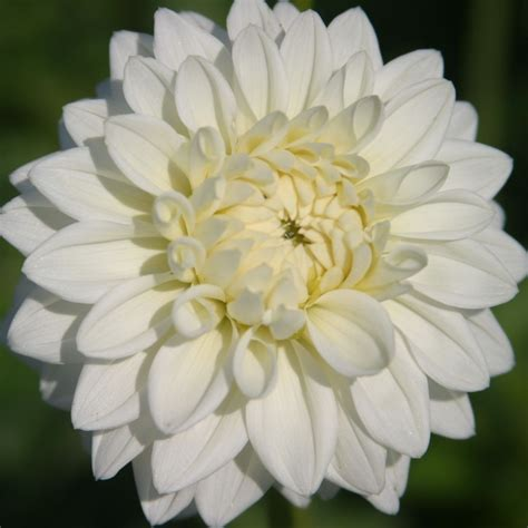 Dahlia White white dahlias www pixshark images galleries with a