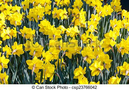 stock photo of yellow narcissus close up beautiful