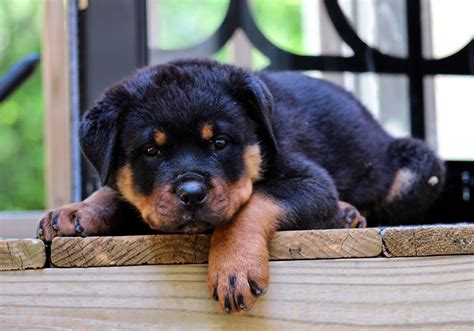 pictures of rottweiler puppies rottweiler baby breeds picture