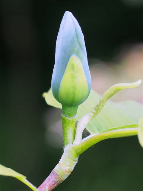 Blue Opal 01 29th may the garden diary