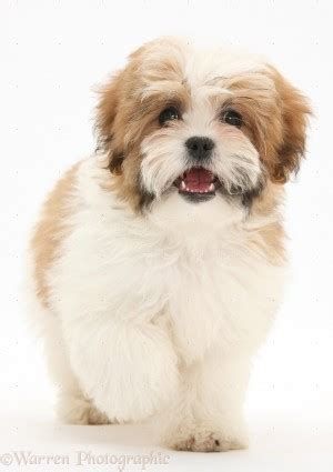 maltese and shih tzu difference shih tzu quotes quotesgram