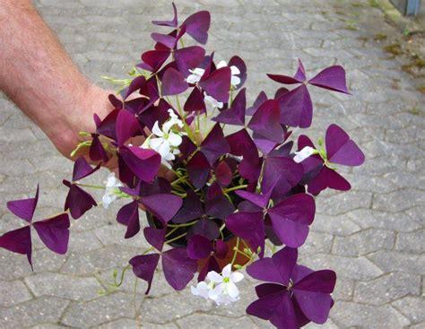 Zimmerpflanze Kaufen 711 by Oxalis Regnellii Atropurpurea Shamrock Roter