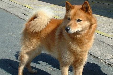 spitz breeds spitz breed information on spitz
