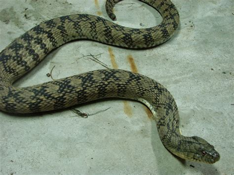 images of a water moccasin water moccasin snake www imgkid the image kid has it