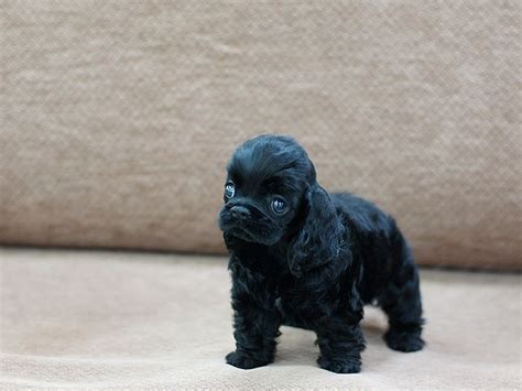 teacup cocker spaniel puppies for sale 13 best boutique teacup puppies images on beautiful php and catalog