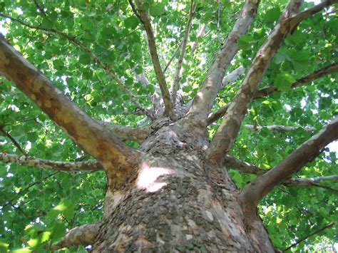 what does tree file sycamore tree bark jpg