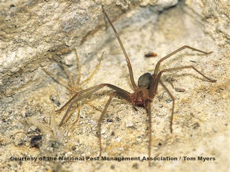 brown recluse image brown recluse spiders images spider facts