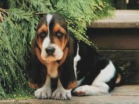 basset hound puppies wi basset hound puppies for sale in green bay wisconsin wi eau waukesha