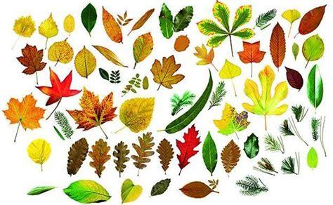 decorar hoja arbol 191 cu 225 ntas hojas de 225 rboles eres capaz de identificar