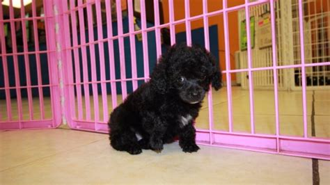 poodle puppies for sale in ga black poodle puppies for sale in dogs our friends photo
