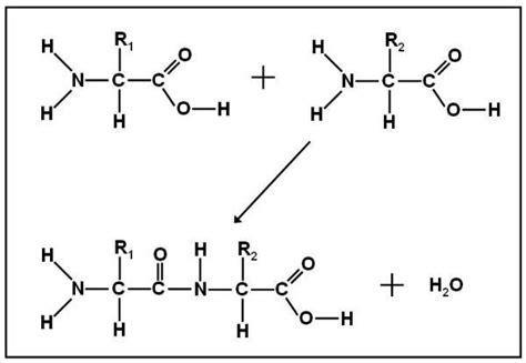 dipeptide diagram evie trawinski biology with st denis at shenendehowa