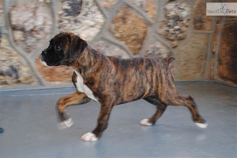 boxer puppies for sale missouri boxer puppies for sale in missouri the universe of animals