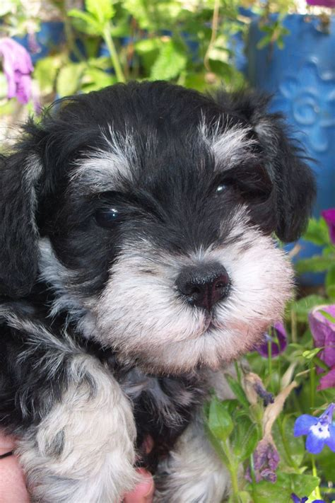 black and silver miniature schnauzer puppies black and silver miniature schnauzer derby derbyshire pets4homes