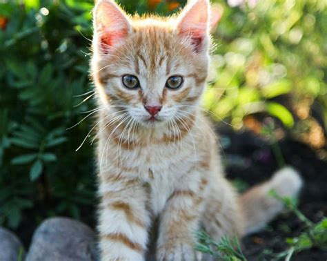 cat wallpaper pinterest cute cat wallpaper animals wallpapers pinterest
