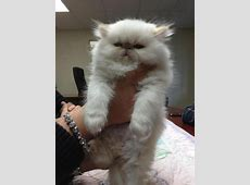 squishfacekitties: Is this the fluffiest cat in the world ... Fluffiest Kittens In The World