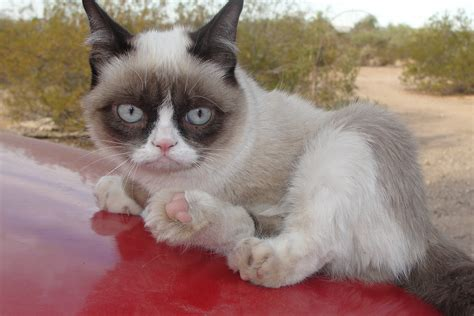 Grumpy Cat   Pictures, Breed, Personality, History, Information   Animals Adda