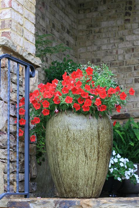 planted large olive jar containers   splash  red
