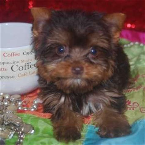 chocolate yorkies alaska 17 best images about chocolate yorkies on stud muffin cookie jars and yorkie