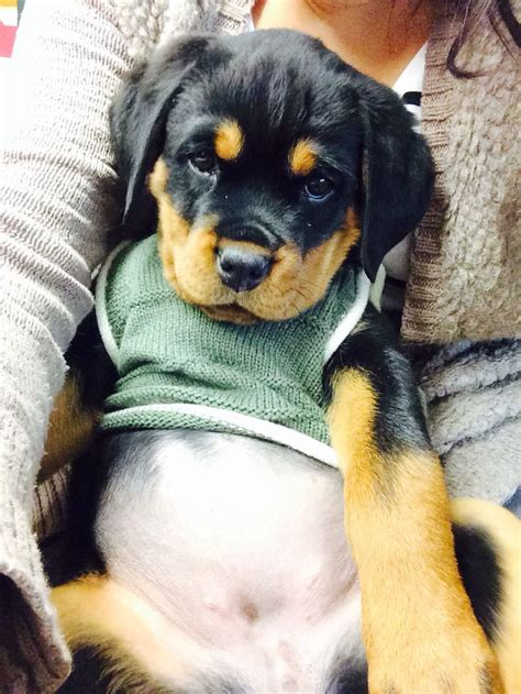 baby rottweiler best 25 baby rottweiler ideas on rottweilers rottweiler puppies and