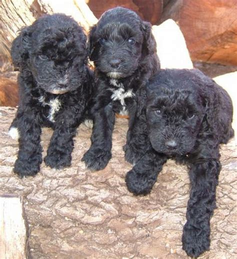 black labradoodle puppies for sale pictures of labradoodle puppies