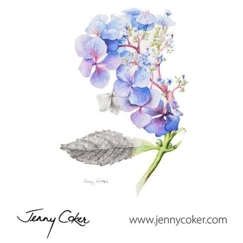 wild blue hydrangea watercolour botanical original