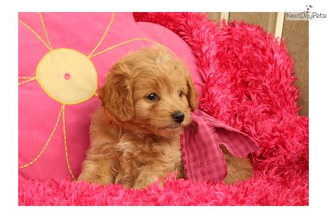 mini goldendoodle puppies for sale near me goldendoodle puppy for sale near lancaster pennsylvania 343b7135 7e41