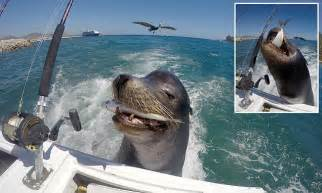 fishing boat lost at sea sea lion in los cabos mexico is fed a fish after hitching