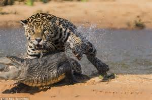 Jaguar Gets Alligator Jaguar Hunts Caiman 10 Pics Amazing Creatures