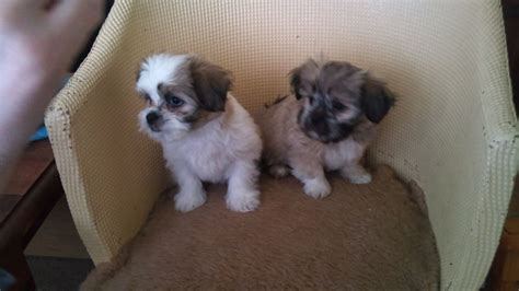 chihuahua and shih tzu 2 gorgeous shih tzu x chihuahua shi chi puppies bishop auckland county durham