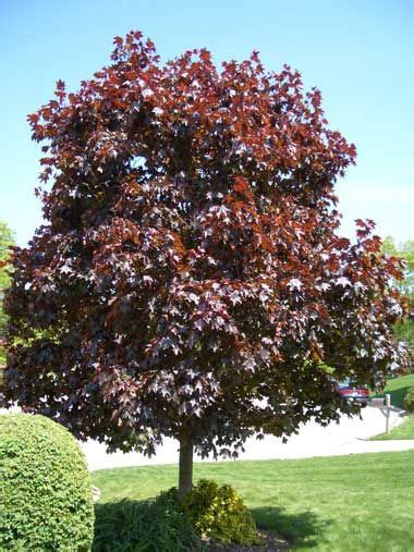 pictures of maple trees and oaks crimson king maple trees maple