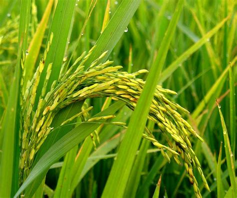 Rice L rice stalk a photo from west bengal east trekearth