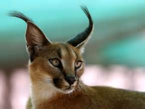 1000 images about caracal on kittens kruger