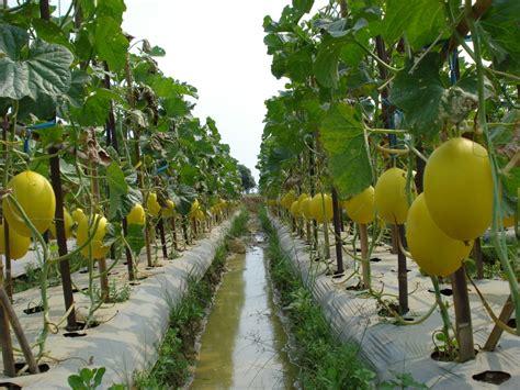 Benih Asparagus Malaysia pabrik dan distributor polybag cara pembudidayaan buah