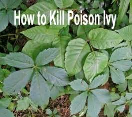 kill poison ivy pictures of poison ivy