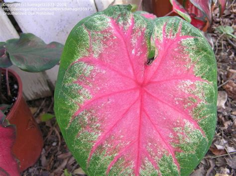 plantfiles pictures fancy leafed caladium angel wings