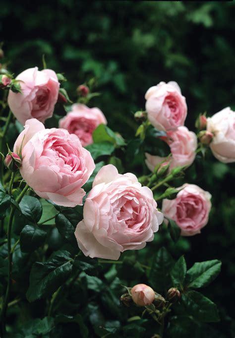 david austin rosen a l l a b o u t y u m david austin s queen of sweden not up to scratch